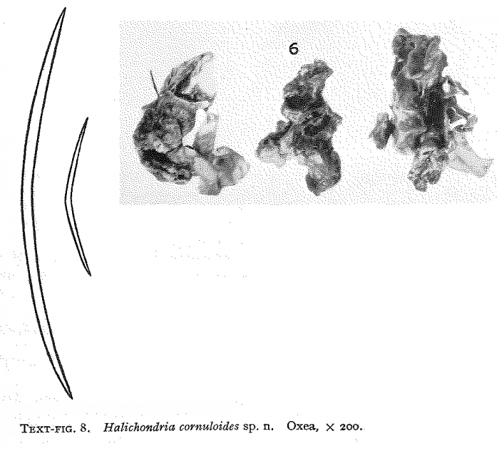 Halichondria cornuloides Burton, 1954
