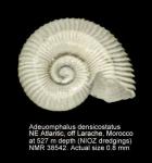 Adeuomphalus densicostatus