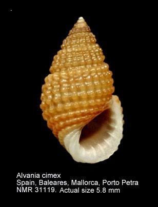 Alvania cimex