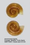 Ammonicera lignea