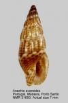 Anachis avaroides