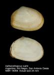 Asthenothaerus rushii