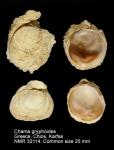 Chama gryphoides