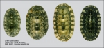 Chiton tuberculatus