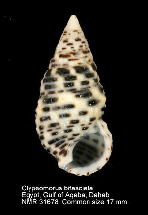 Clypeomorus bifasciatus