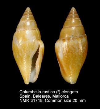 Columbella rustica