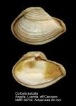 Corbula sulcata