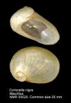 Coriocella nigra