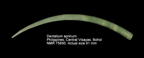 Dentalium aprinum