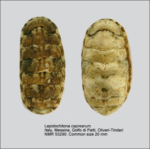 Lepidochitona caprearum