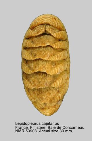 Lepidopleurus cajetanus