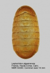 Leptochiton algesirensis