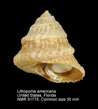 Lithopoma americanum