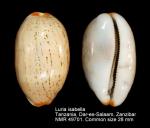 Luria isabella