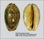Mauritia arabica asiatica