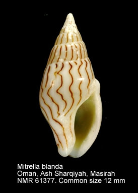 Mitrella blanda
