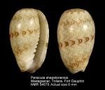 Persicula shepstonensis