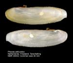 Phaxas pellucidus