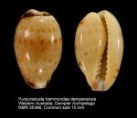 Purpuradusta hammondae dampierensis