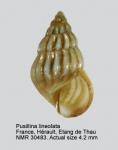 Pusillina lineolata