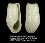 Retusa truncatula