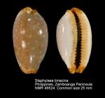 Staphylaea limacina