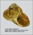 Turbo cidaris natalensis