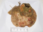 Dendrodoa carnea on shell