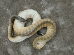 Sea snake Hydrophis pachycercos from Vietnam