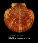 Aequipecten opercularis