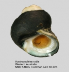 Austrocochlea rudis