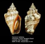 Canarium labiatum