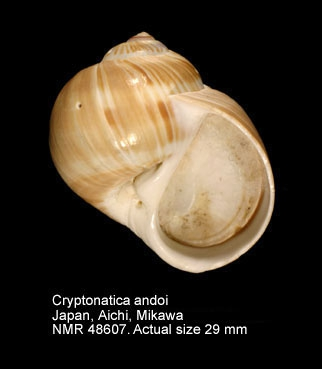 Cryptonatica janthostomoides