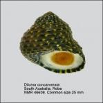 Diloma concamerata