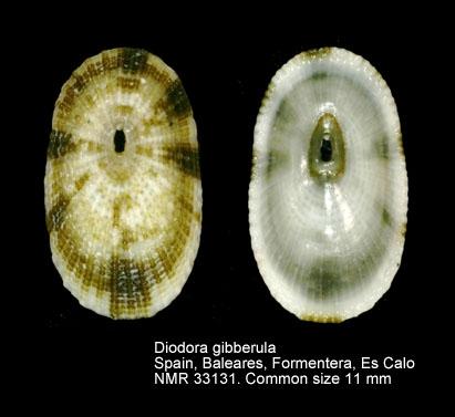 Diodora gibberula