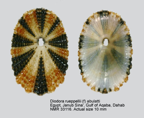 Diodora ruppellii