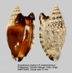 Euprotomus aratrum