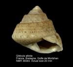 Gibbula albida