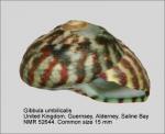 Gibbula umbilicalis