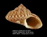 Gibbula umbilicaris