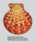 Gloripallium maculosum