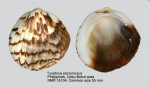 Tucetona pectunculus