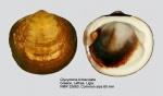 Glycymeris bimaculata