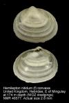 Hemilepton nitidum
