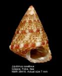 Jujubinus corallinus