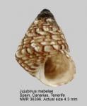 Jujubinus mabelae