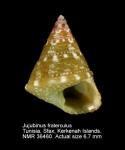 Jujubinus fraterculus