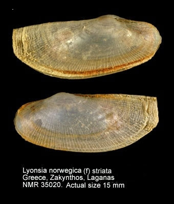 Lyonsia norwegica