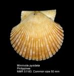 Minnivola pyxidata