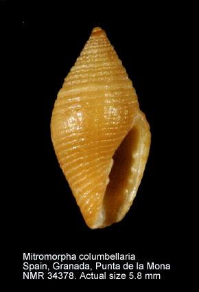 Mitromorpha columbellaria